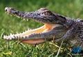 Аватар пользователя Крокодил